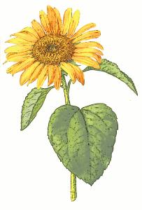 ay çiçeği